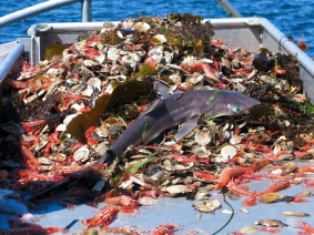shark as bycatch