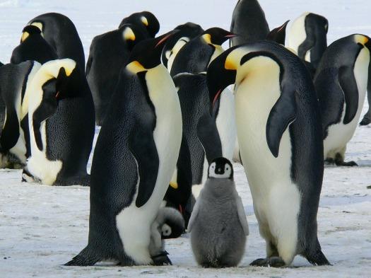 penguins-429128_1920